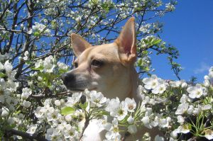 Ginger in a Pear Tree by lindanes