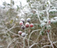 Frozen Rose Hips II by LouisTN