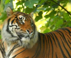 Siberian Tiger 6 by shaunthorpe