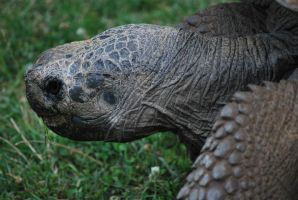 galapagos tortoise 2.1 by meihua-stock
