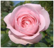 Drops on a Rose by AndyBuck