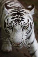 6041 - White tiger by Jay-Co