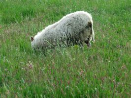 Mother sheep by PhilipCapet
