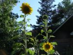 Three Sunflowers by avicados
