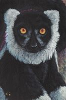Ruffed Lemur by Goldenwolf