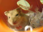 Neko The Hamster (photo) by Kimorox
