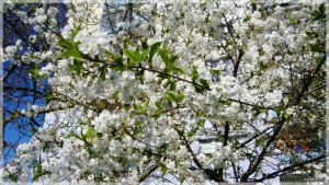Photo - Prunus $1$ by Przemyslav