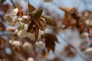 Blooming Tree 2 by hyannah77-stock