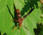 Wasp Mimic Moth by tioedbob