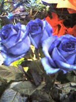 Blue Roses. by blindbutblink