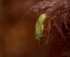 Greater AngleWing Katydid August - 2014 - 26 - 4 by toshema