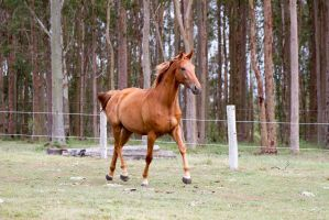 Dn WB chestnut trot side 3/4 view by Chunga-Stock