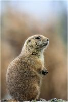 Prairie dog 01 by Mayini