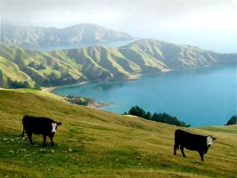 two cows by lior7