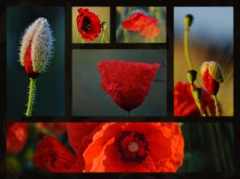 Poppies by Dan52T