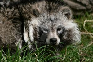 Racoon Dog by NEWSBOT3