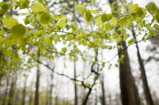 Young Beech Leaves by enaruna