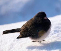 Dark Eyed Junco by DillonStein