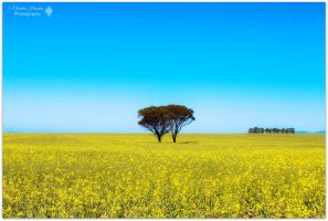Chillinup Canola  by bast4cats
