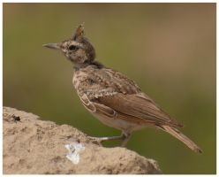 Crested Lark 2 by katerina-m