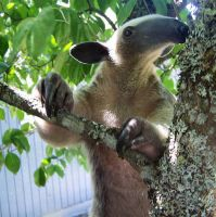 Tamandua in Tree by TamanduaGirl