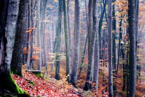 beech wood by riskonelook