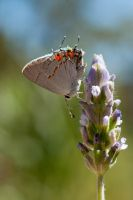 Hairstreak visitor by kayaksailor