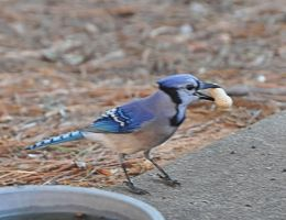 Bluejay N Peanut by Tailgun2009