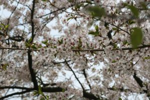 Cherry Blossoms:.2 by Amor-Fati-Stock