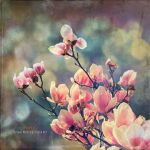 Magnolias by Direct2Brain