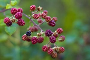 berries 2 by elspeth-66