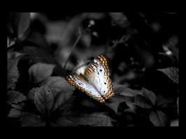 Wallpaper - BnW butterfly by emailandthings