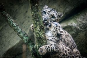 Snow Leopard V by amrodel