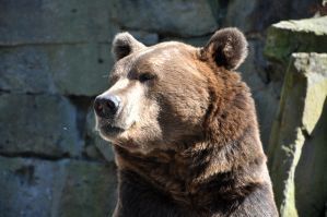 Brown bear portrait by Anny78