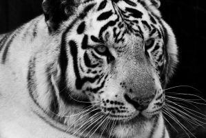 White Tiger by maddog1138