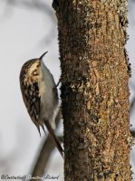Common Treecreeper by RichardConstantinoff