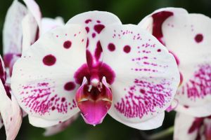 White and Pink Orchid by CASPER1830