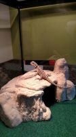 Baby bearded dragon by Lugianiki123