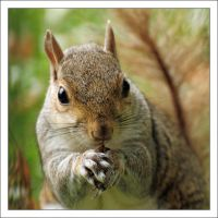 A grey squirrel by Rajmund67