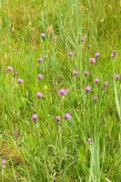 Grassland with pink flowers by steppelandstock