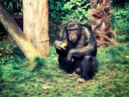 The Chimp by JPeiro