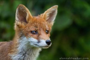 Fox Cub 10 by Alannah-Hawker