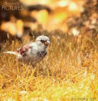 HouseSparrow by SunshadePICTURES