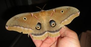 Polyphemus Moth by hyenacub-stock