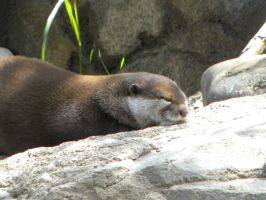 Asian Small-clawed Otter by JennHolton