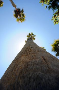 Tall Palm Tree by LDFranklin