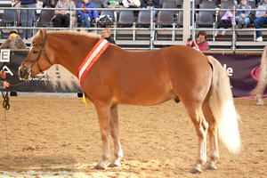 Haflinger Stallion_8 by CalyHoney