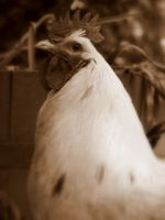 Roosters Close-up by Toxic-Muffins-Studio