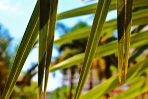 Palm Leaves by PhotonicBohemian