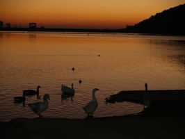 Birds in the Water at Sunset by CatherineAllison